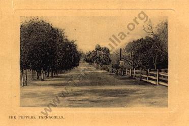 Tarnagulla Post Card. The Peppers, Tarnagulla.